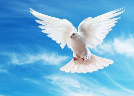 Een vrij vliegende witte duif geïsoleerd op een witte achtergrond Stockfoto