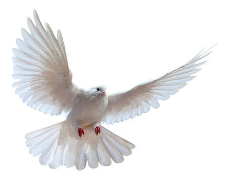 fluga: En gratis flygande vit duva isolerad på en vit bakgrund