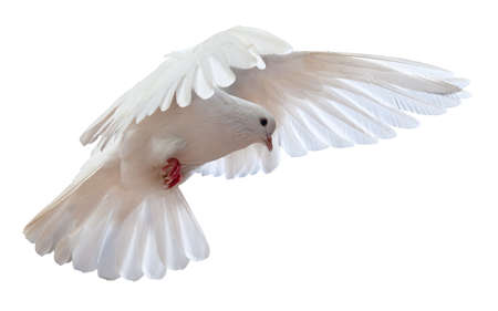dove flying: A free flying white dove isolated on a white background Stock Photo