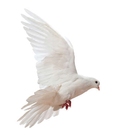 white pigeon: A free flying white dove isolated on a white background Stock Photo