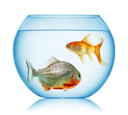 gold fish and piranha isolated photo