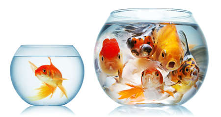 gold fish and piranha isolated Stock Photo - 9039654