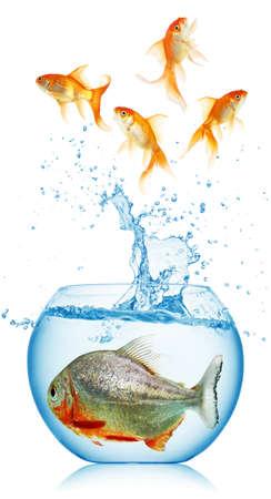 gold fish runs away from piranha isolated photo