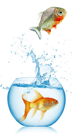 piranha runs away from gold fish isolated photo