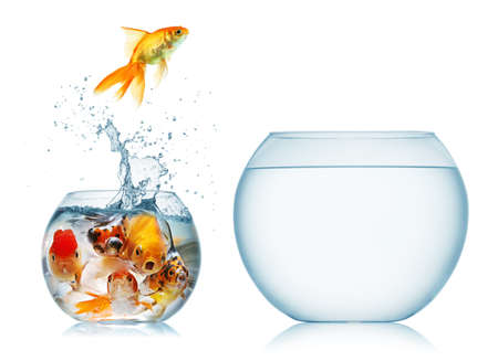 A goldfish jumping out of the water to escape to freedom  White background  Stock Photo
