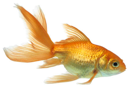 fish isolated: Gold fish. Isolation on the white Stock Photo