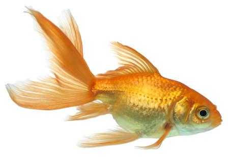 peces de acuario: Peces de oro. Aislamiento en el blanco Foto de archivo