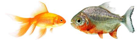 gold fish and piranha isolated photo