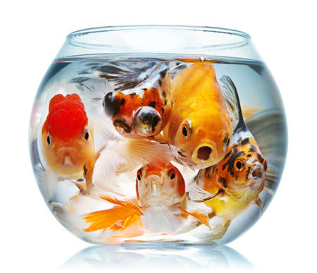 Gold fish. Isolation on the white Stock Photo - 9039772