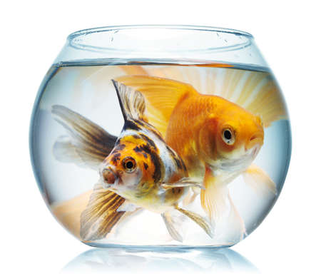 Gold fish. Isolation on the white Stock Photo - 9039676