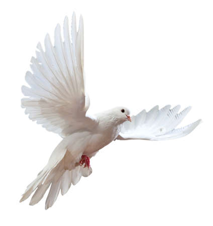 A free flying white dove isolated on a white background Stock Photo