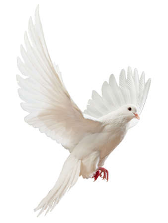 vol d oiseaux: Une colombe blanche vol libre, isol�e sur un fond blanc
