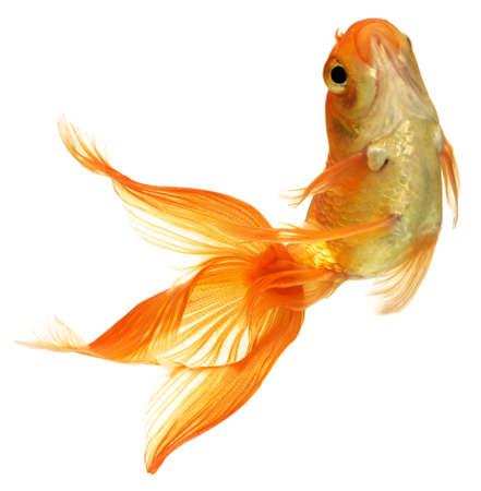 pez carpa: Peces de oro. Aislamiento en el blanco Foto de archivo