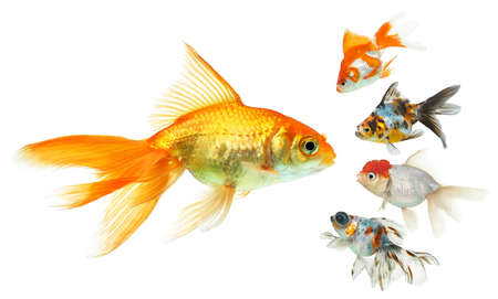 tropical fish: Piranha in front of a white background