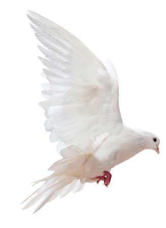 A free flying white dove isolated on a white background Stock Photo - 9039430