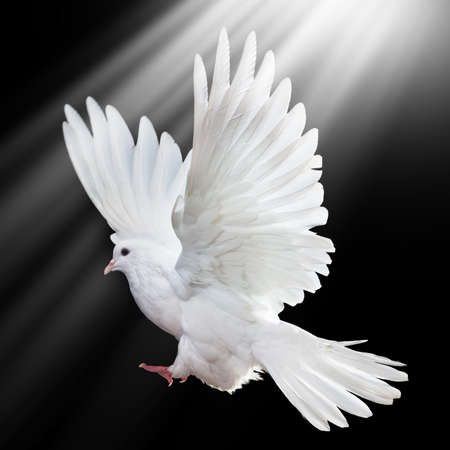 A free flying white dove isolated on a black background Stock Photo - 9270421
