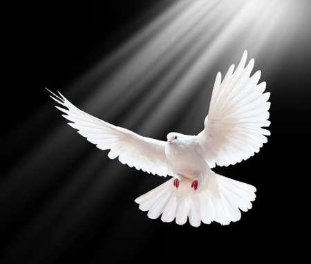 Eine frei fliegende weiße Taube auf schwarzem Hintergrund isoliert Standard-Bild - 9270430