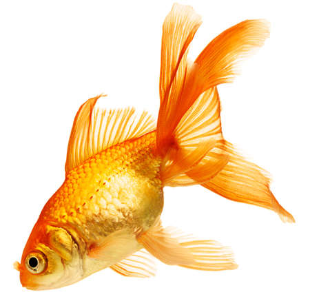 złota rybka: Złoty ryb. Izolacja na biały Zdjęcie Seryjne