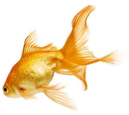 gold fish bowl: Gold fish. Isolation on the white Stock Photo