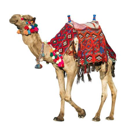 De eenzame binnenlandse kameel afgezonderd op wit.
