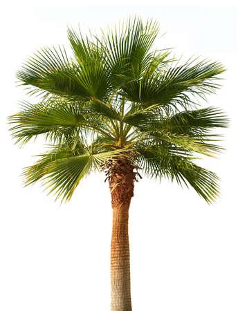 feuille arbre: Palmier isolé sur fond blanc