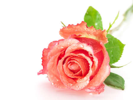 pink and green: beautiful pink rose isolated on white background