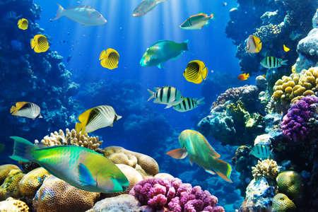 arrecife: Coral y pescados en el Mar Rojo Egipto