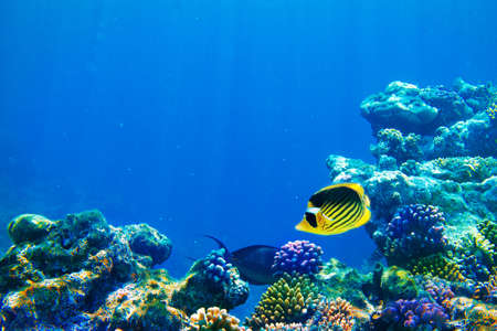 undersea: Photo d'une colonie de corail sur un r?cif, en Egypte