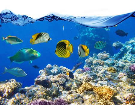 pez pecera: Coral y pescados en el Mar Rojo Egipto