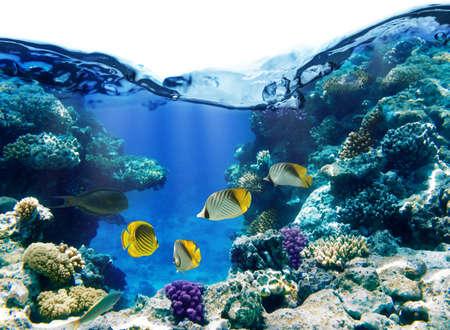 coral colony: Foto di una colonia di corallina su una scogliera, Egitto Archivio Fotografico