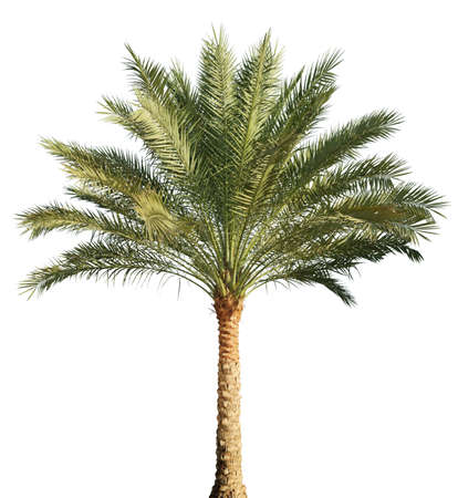 Palmeira isolada no fundo branco