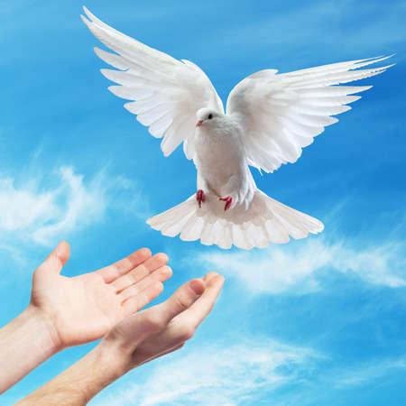 colomba della pace: mani rilasciate nel cielo azzurro al sole una colomba bianca Archivio Fotografico