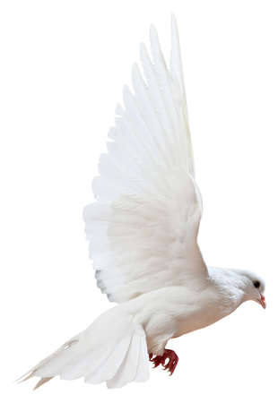 A free flying white dove isolated on a white background photo
