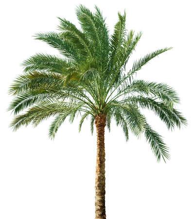 palmeras: Palmera sobre fondo blanco Foto de archivo