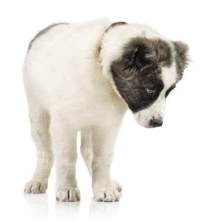 alabai: Beautiful alabai isolated on white background wearing a brown dog-collar Stock Photo