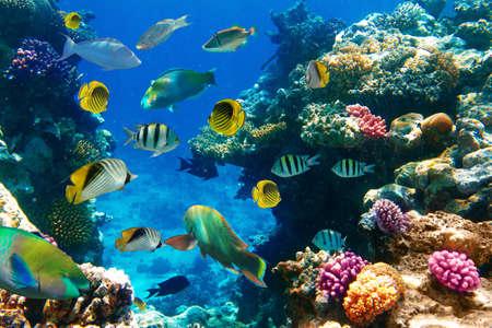 corales marinos: Foto de una colonia de corales en un arrecife, Egipto