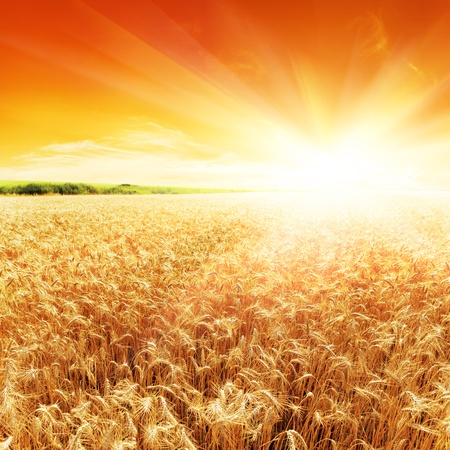 Golden sunset over wheat field photo