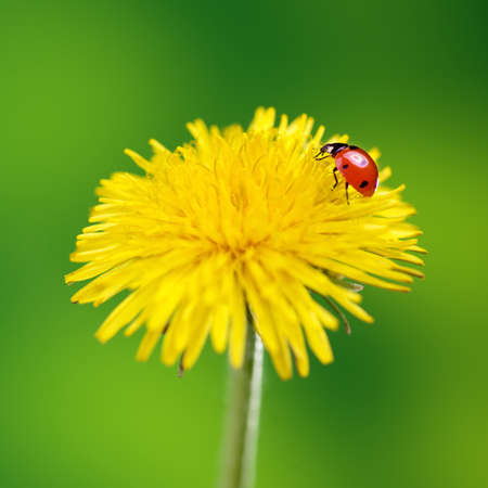 Yellow flower with ladybug on green photo