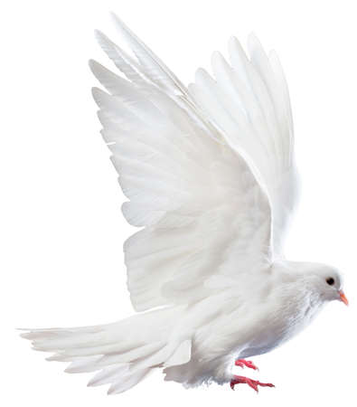 Eine kostenlose fliegende weiße Taube auf einem weißen Hintergrund