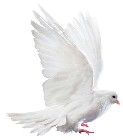 colomba della pace: Un volo libero colomba bianca isolato su uno sfondo bianco