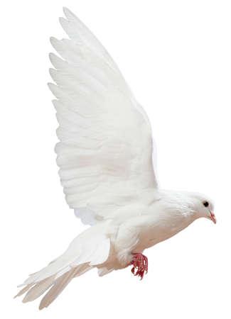 pluma blanca: Un vuelo libre aislados paloma blanca sobre un fondo blanco Foto de archivo