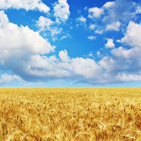 wheat field: Golden wheat field under a blue sky and sunshine
