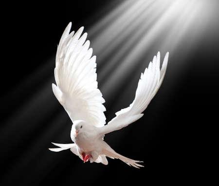 Een vrije vliegende witte duif die op een zwarte achtergrond