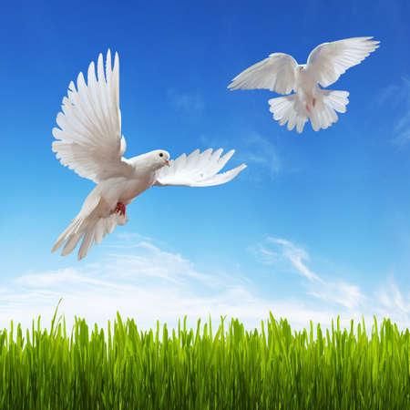 paloma blanca, la hierba y el cielo. Fondo