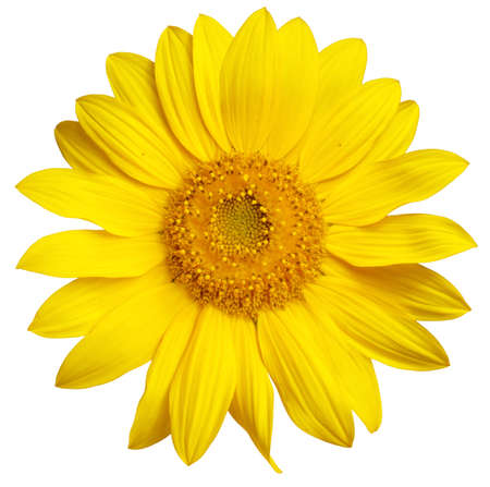 Perfect Sunflower, completely isolated on white background photo