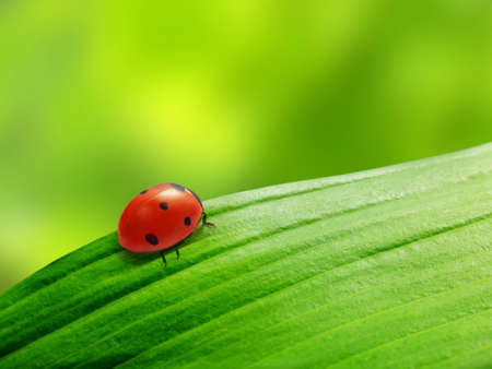 ladybug sits on a green leaf photo