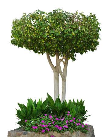 arboles frondosos: Árbol aislado sobre un fondo blanco