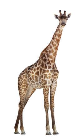 Giraffe isolated on white background Stock Photo - 17460005