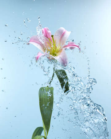 Close up view of lily in water splash photo