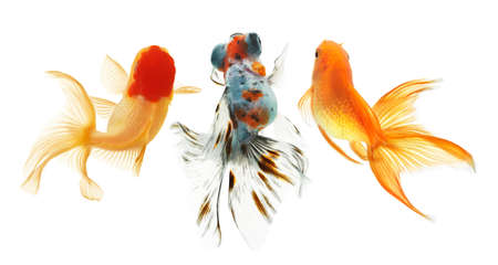 Gold fish. Isolation on the white Imagens
